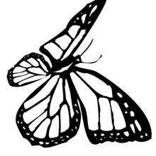 Dibujo para pintar una mariposa monarca - Dibujos para Colorear y Pintar - Dibujos para colorear ANIMALES - Dibujos INSECTOS para colorear - Dibujos para colorear MARIPOSAS - Colorear MARIPOSA MONARCA