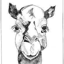 Dibujo para colorear : Cabeza de dromedario
