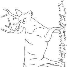Un ciervo - Dibujos para Colorear y Pintar - Dibujos para colorear ANIMALES - Dibujos ANIMALES SALVAJES para colorear - Dibujos ANIMALES DE LA SELVA para colorear - Colorear CIERVO