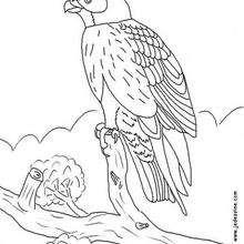 Un falcón para pintar - Dibujos para Colorear y Pintar - Dibujos para colorear ANIMALES - Dibujos AVES para colorear - Dibujo para colorear FALCON