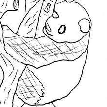 Dibujo de un PANDA - Dibujos para Colorear y Pintar - Dibujos para colorear ANIMALES - Dibujos ANIMALES SALVAJES para colorear - Dibujos para colorear e imprimir ANIMALES SALVAJES - Colorear OSO PANDA