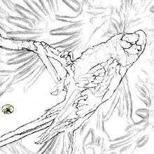 Dibujo de un LORO - Dibujos para Colorear y Pintar - Dibujos para colorear ANIMALES - Dibujos AVES para colorear - Dibujo para colorear LORO