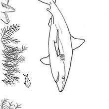 Dibujo para pintar TIBURON - Dibujos para Colorear y Pintar - Dibujos para colorear ANIMALES - Dibujos ANIMALES MARINOS para colorear - Colorear MAMIFEROS MARINOS - Colorear TIBURONES