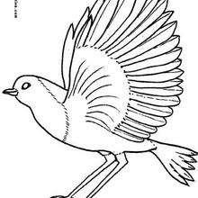 Dibujo de una PALOMA - Dibujos para Colorear y Pintar - Dibujos para colorear ANIMALES - Dibujos AVES para colorear - Colorear PALOMA